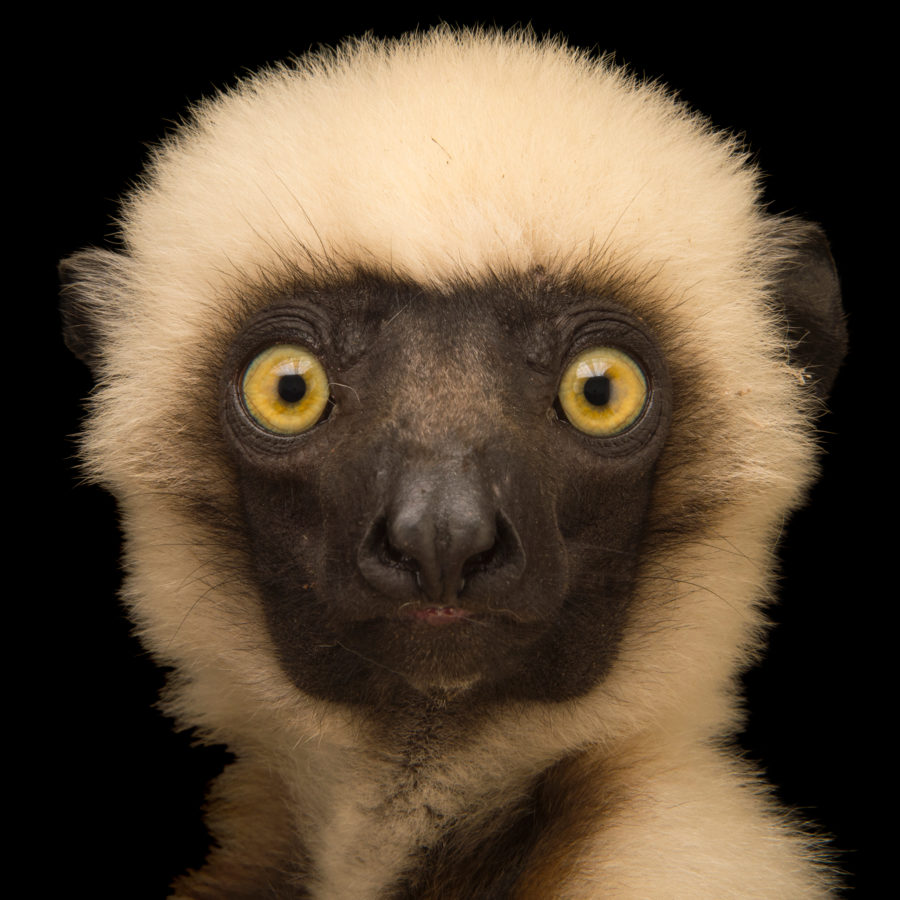 Image of: Color Von Der Deckens Sifaka Pbs Animals Rare Creatures Of The Photo Ark Official Site Pbs