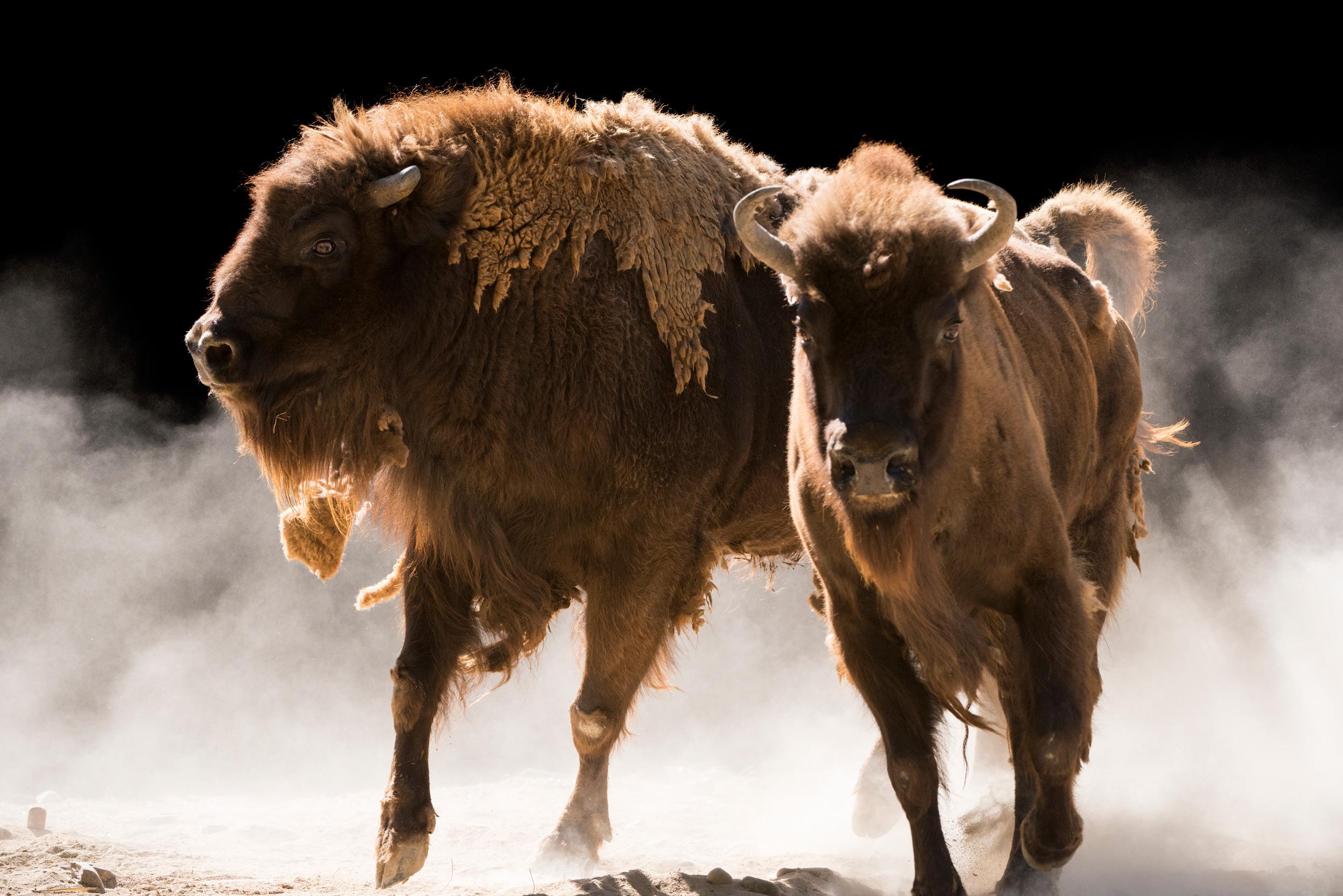 European Wisent - Bison bonasus