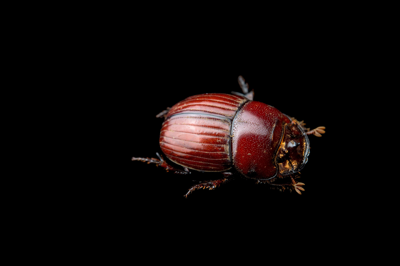Dung Beetle - Copris complexus