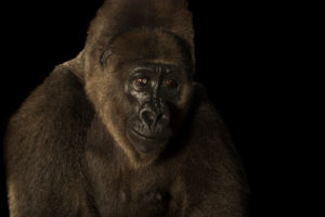 Cross River Gorilla -