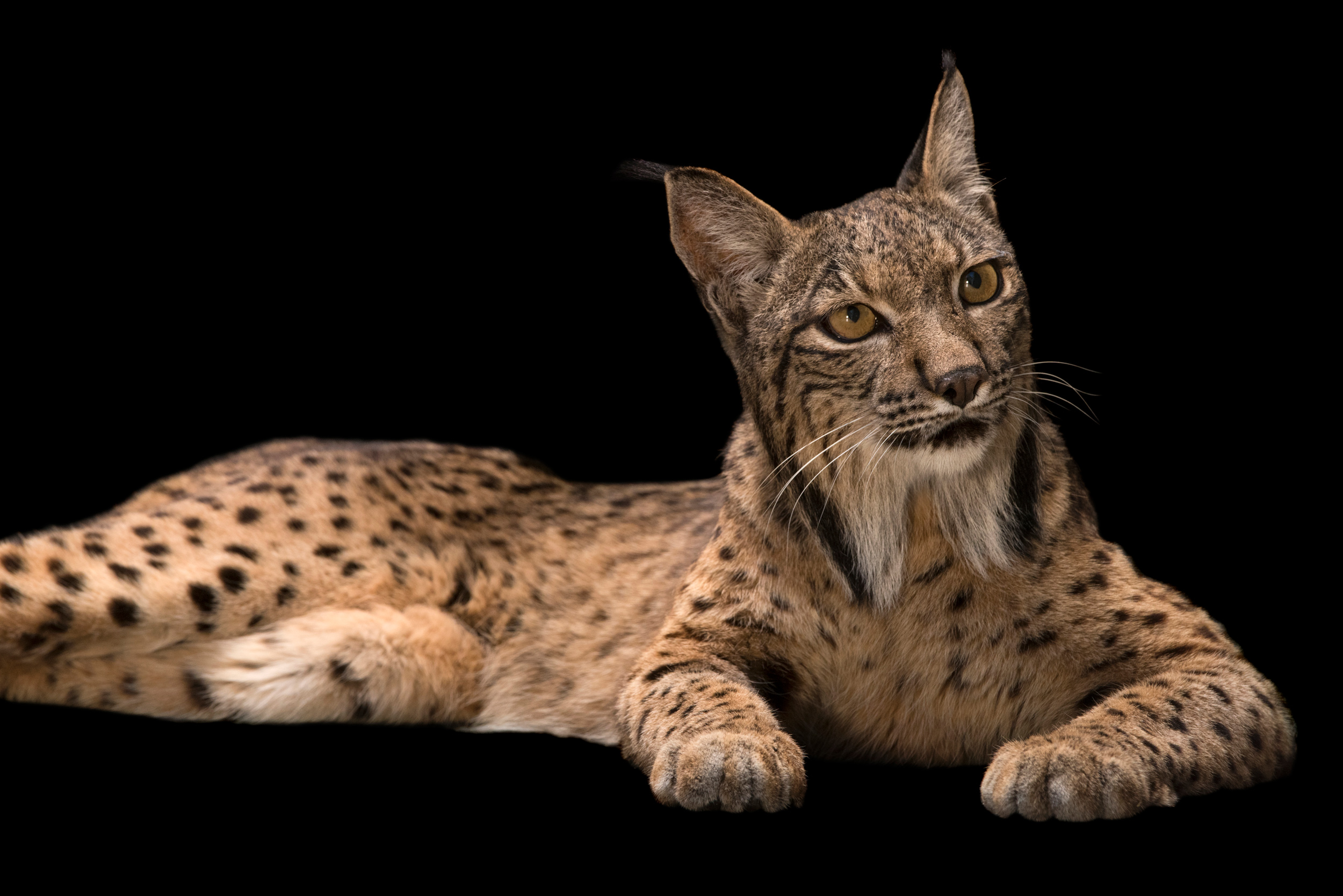 Iberian Lynx - Lynx pardinus