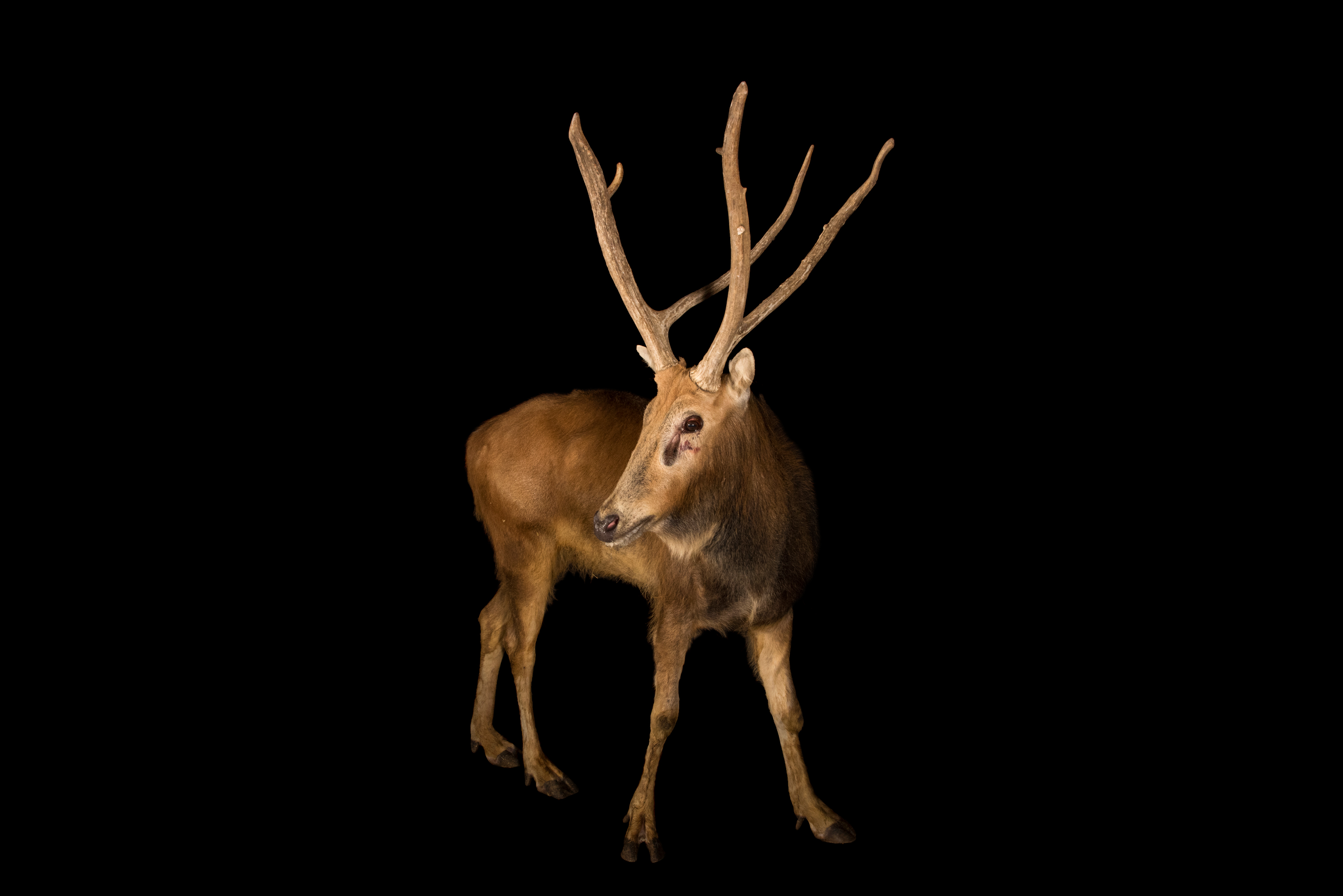 Père David's Deer - Elaphurus davidianus