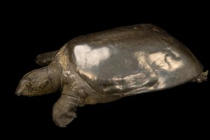 Yangtze Giant Softshell Turtle -