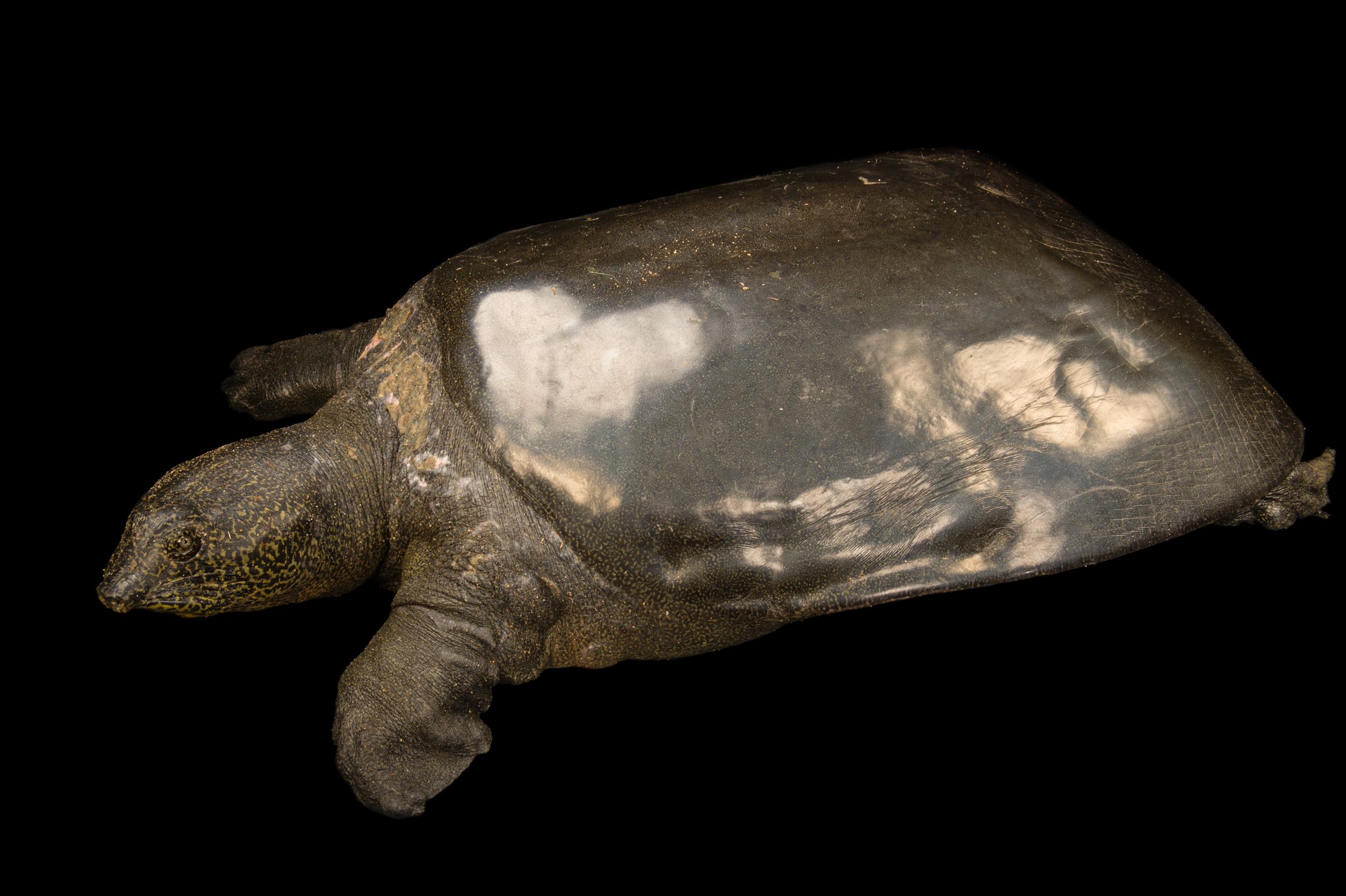Yangtze Giant Softshell Turtle - Rafetus swinhoei