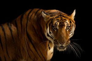 South China Tiger -