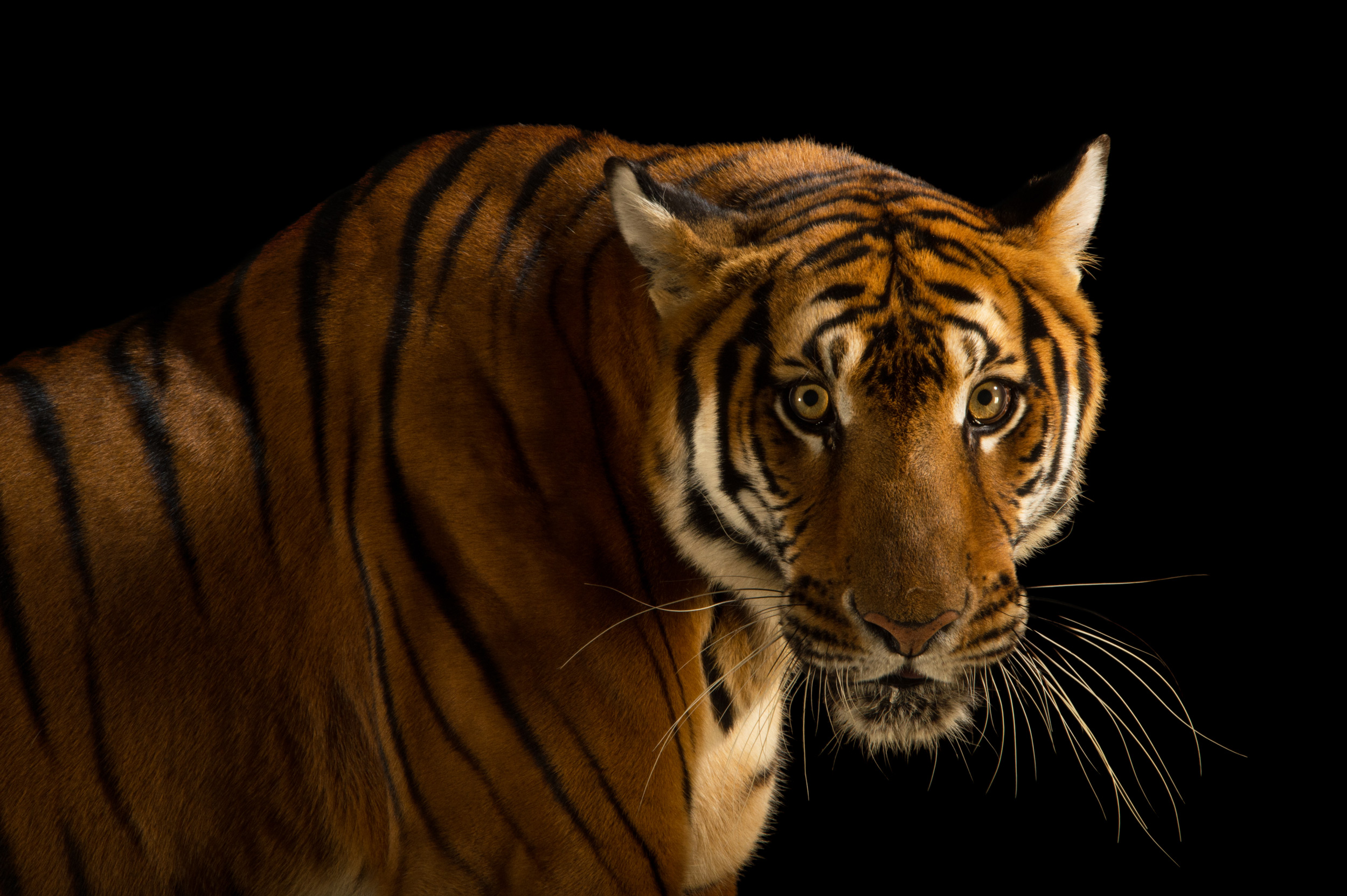 the south china tiger essay The sumatran tiger is similar to a typical tiger but smaller the sumatran tiger currently critically endangered and numbers are south american conservation volunteers animal cruelty china consumption deforestation dolphin elephant energy environment food fracking fur ivory japan meat.