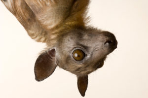 Straw-Colored Fruit Bat -