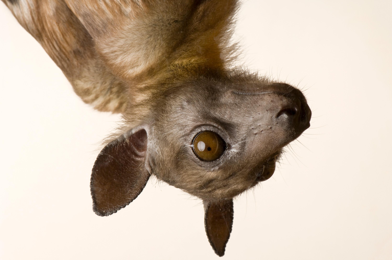 Straw-Colored Fruit Bat - Eidolon helvum