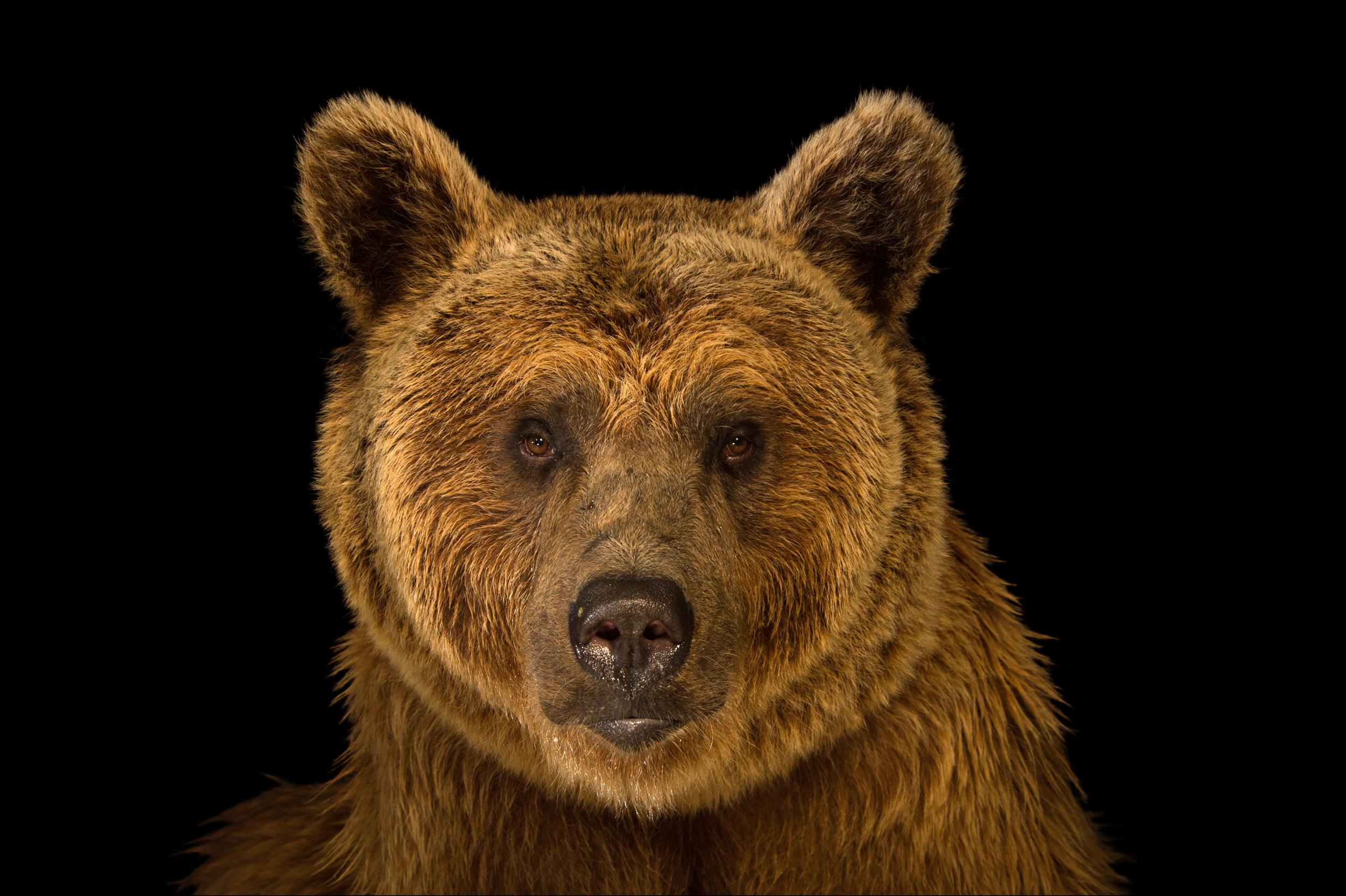 Syrian Brown Bear - Ursus arctos syriacus