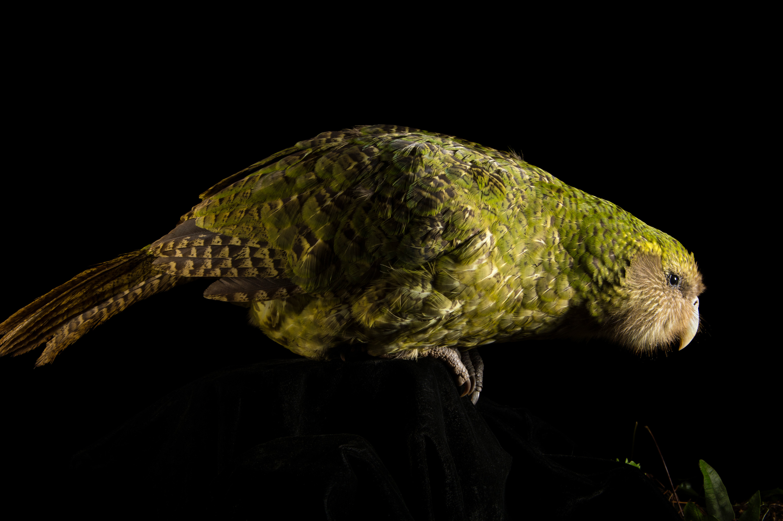 Kākāpō - Strigops habroptilus