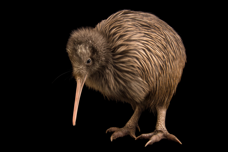 Rowi Kiwi - Apteryx rowi