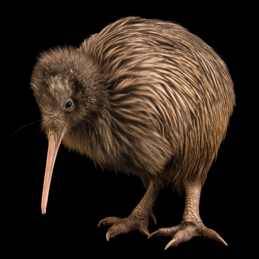 Image of: Endangered Rowi Kiwi Pbs Rare Creatures Of The Photo Ark Official Site Pbs