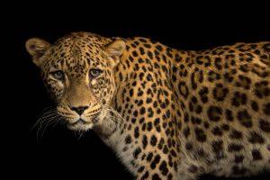 Persian Leopard -