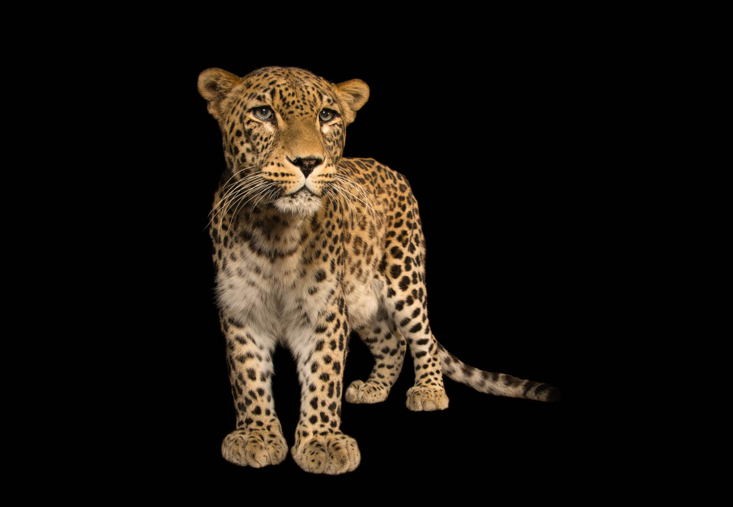 Persian Leopard - Panthera pardus saxicolor
