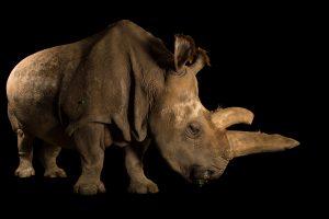 Northern White Rhino -