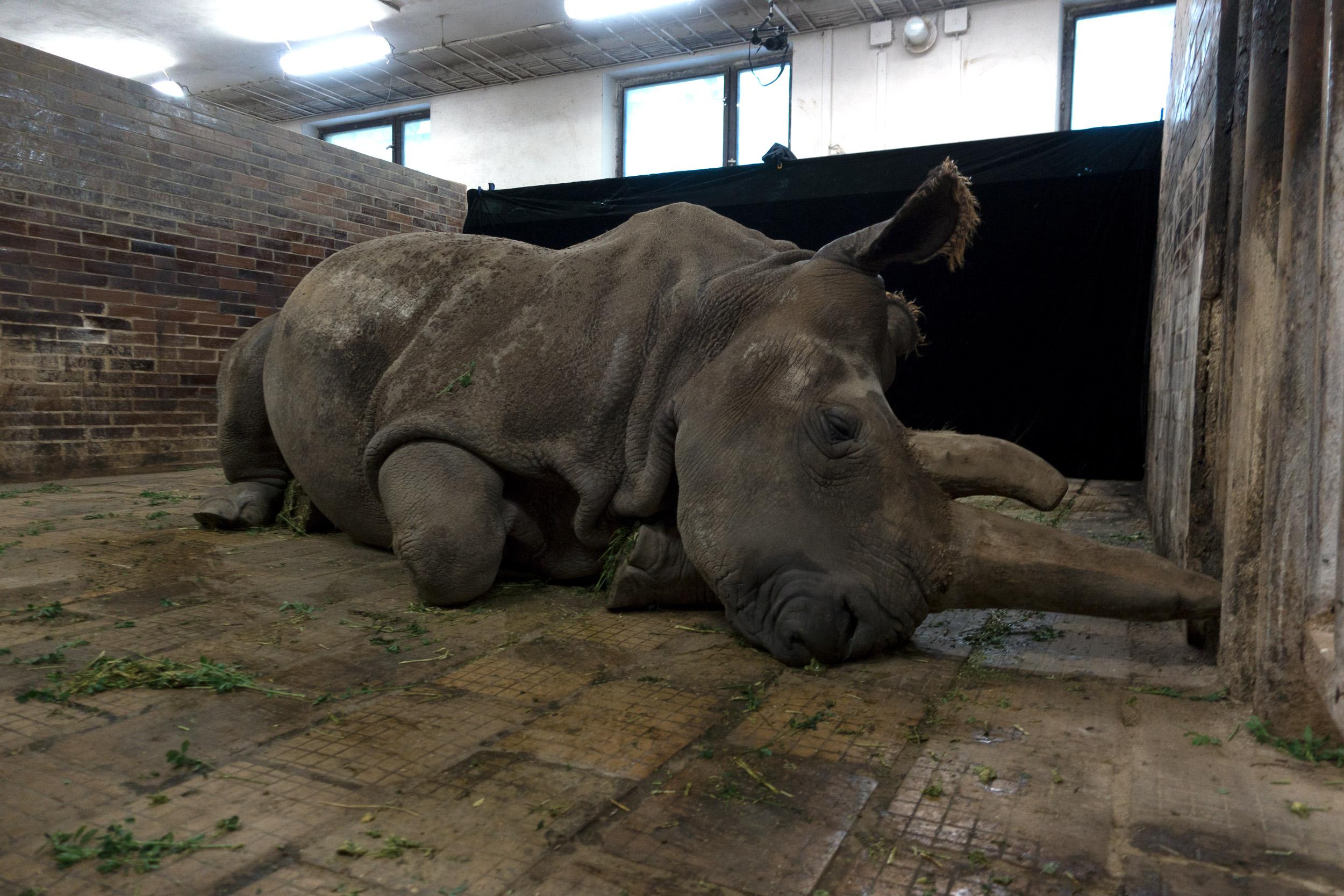 Northern White Rhino - Ceratotherium simum cottoni