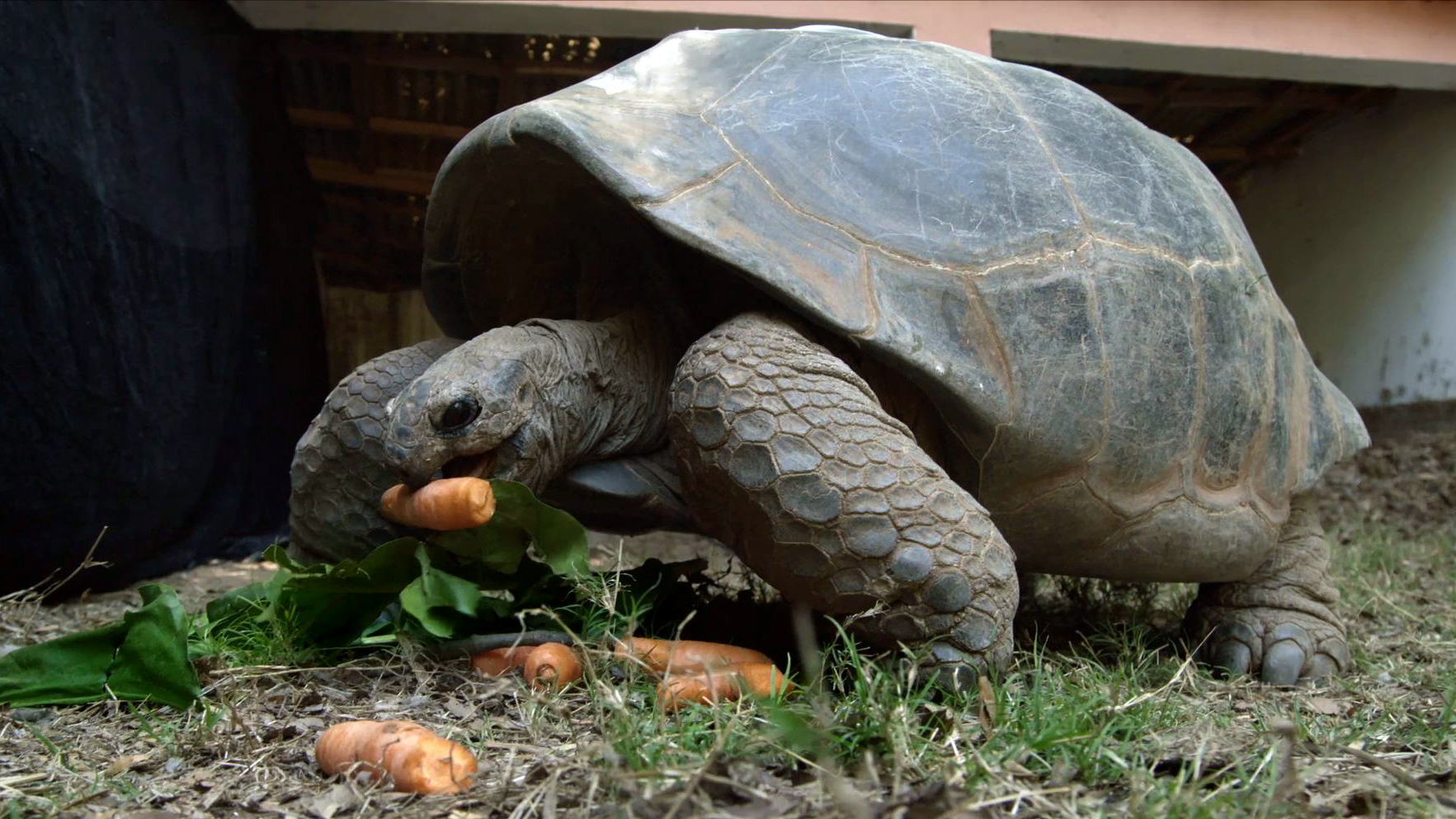 Creature Clip: Aldabara Giant Tortoise - 2:24 - Aldabara giant tortoises can grow to be over 500 pounds and live to be over 100 years old.