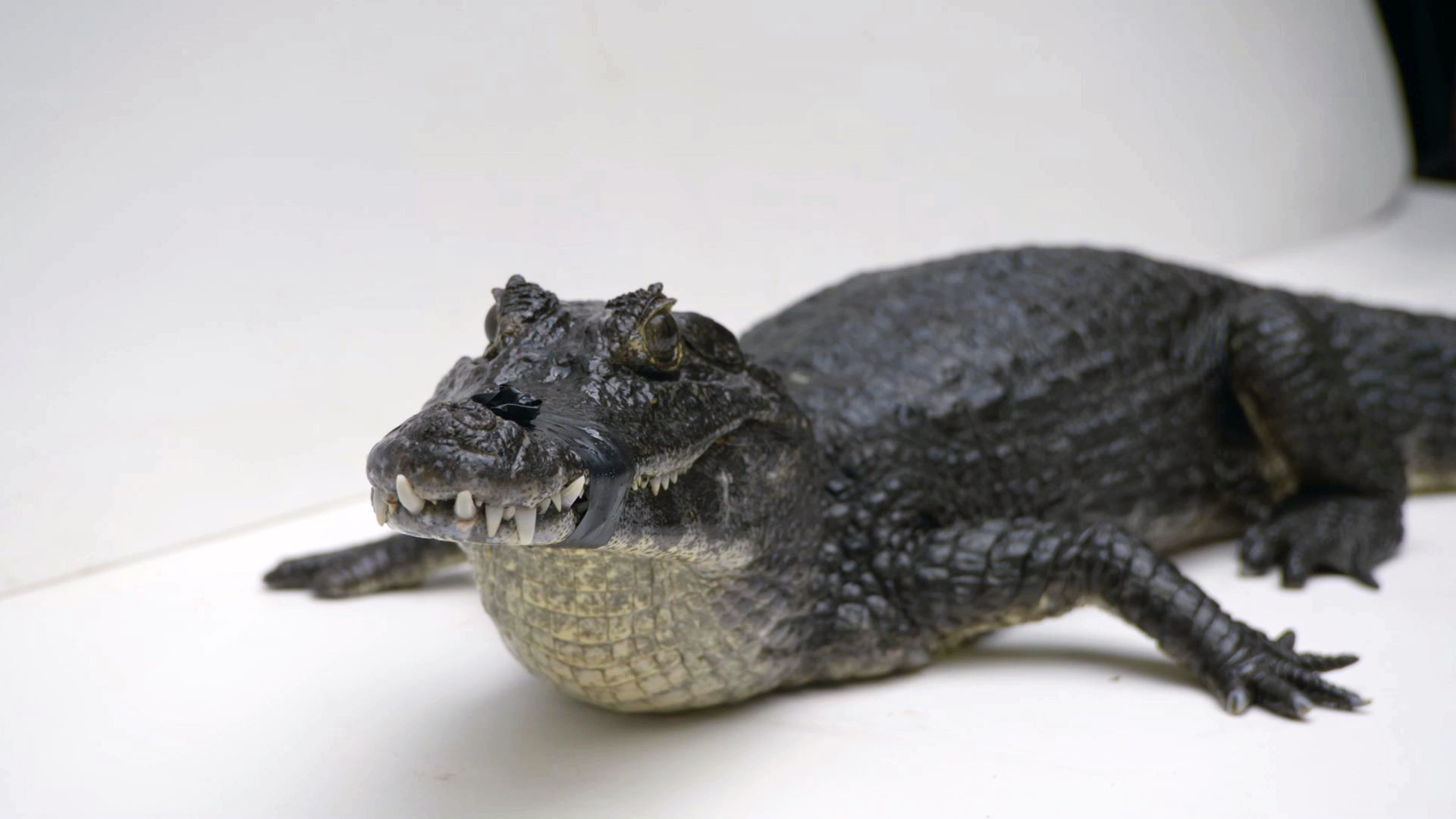 Creature Clip: Yacare Caiman - 2:27 - Watch as Joel photographs the yacare caiman for The Photo Ark.