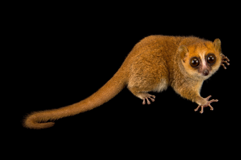 Rufous Mouse Lemur - Microcebus rufus
