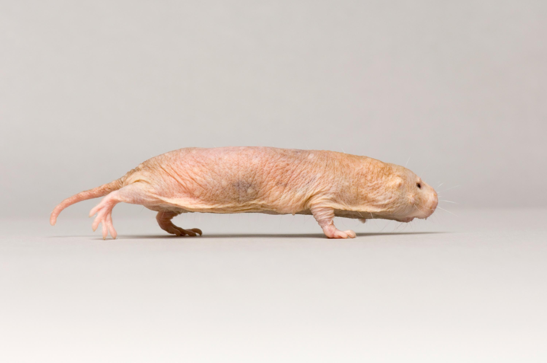 Naked Mole Rat - Heterocephalus glaber