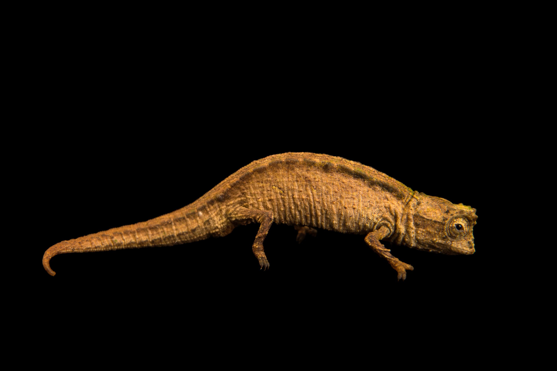 Madagascan Dwarf Chameleon - Brookesia minima