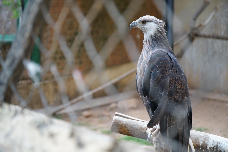 Madagascar Fish Eagle - Haliaeetus vociferoides
