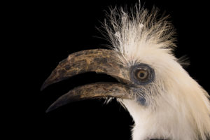 White Crowned Hornbill -