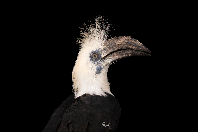 White Crowned Hornbill - Berenicornis comatus