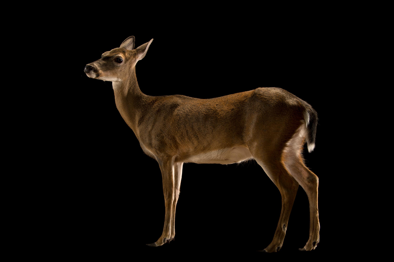 Florida Key Deer - Odocoileus virginianus clavium