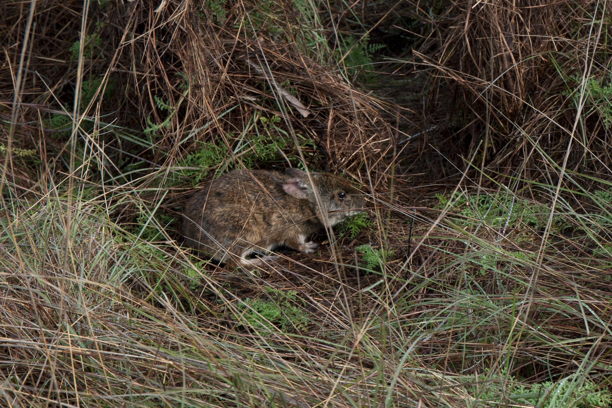 Lower Keys Marsh Rabbit - Sylvilagus palustris hefneri