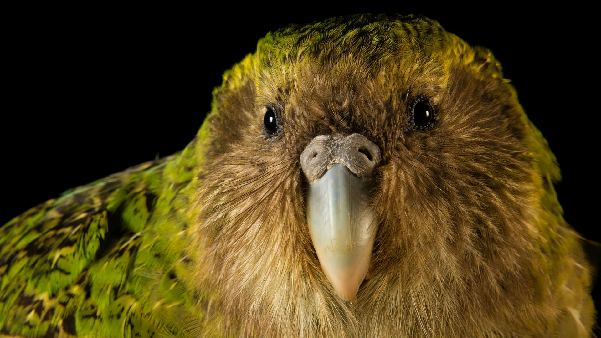 A Kākāpō Love Story - 1:52 - Scientists in New Zealand are working to save this curious-looking bird from extinction.