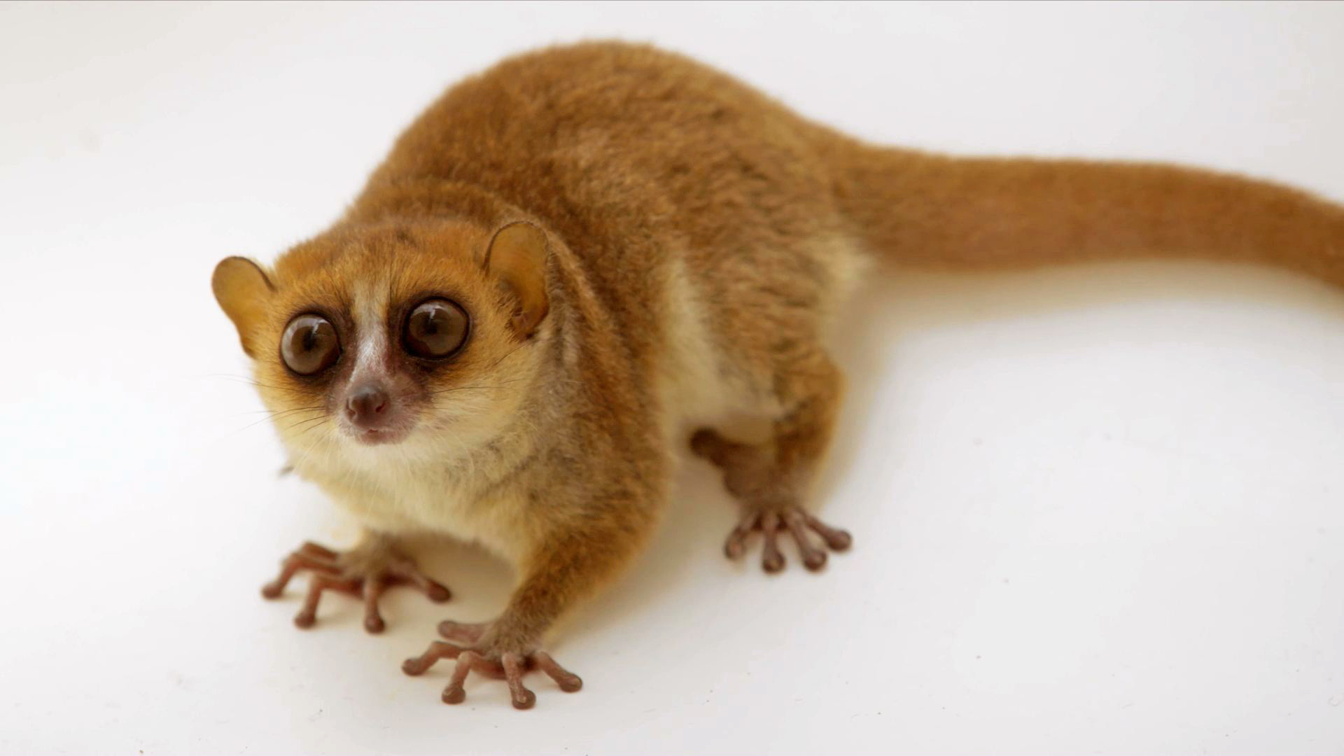 Creature Clip: Rufous Mouse Lemur - 2:53 - When an animal won't stay still long enough for to snap a photo, adding it to the Photo Ark can be a painful process. Watch Joel Sartore's photo shoot with this fast-moving brown mouse lemur.