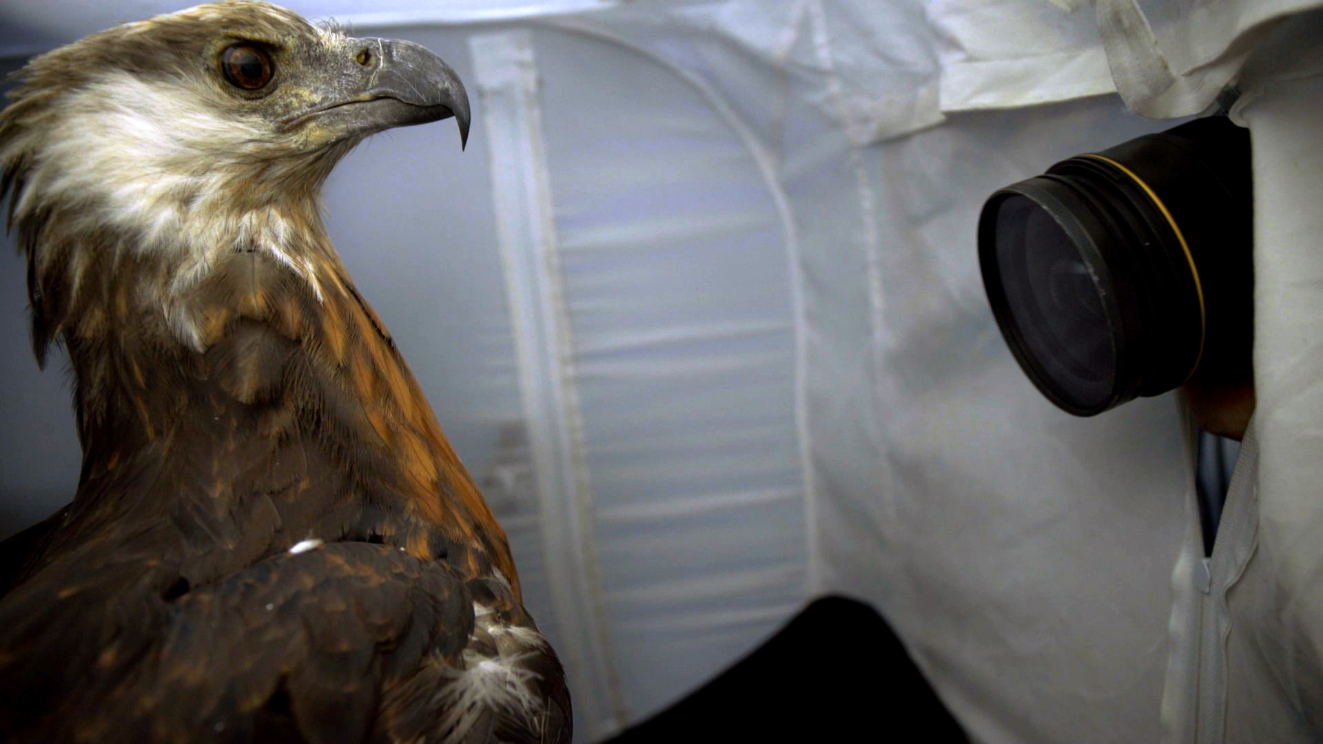 Creature Clip: Madagascar Fish Eagle - 2:06 - There are fewer than 400 Madagascar fish eagles left in the world, and the Tsimbazaza Zoo is the only place known to have them in human care. Watch Joel Sartore's photo shoot with the Madagascar fish eagle.