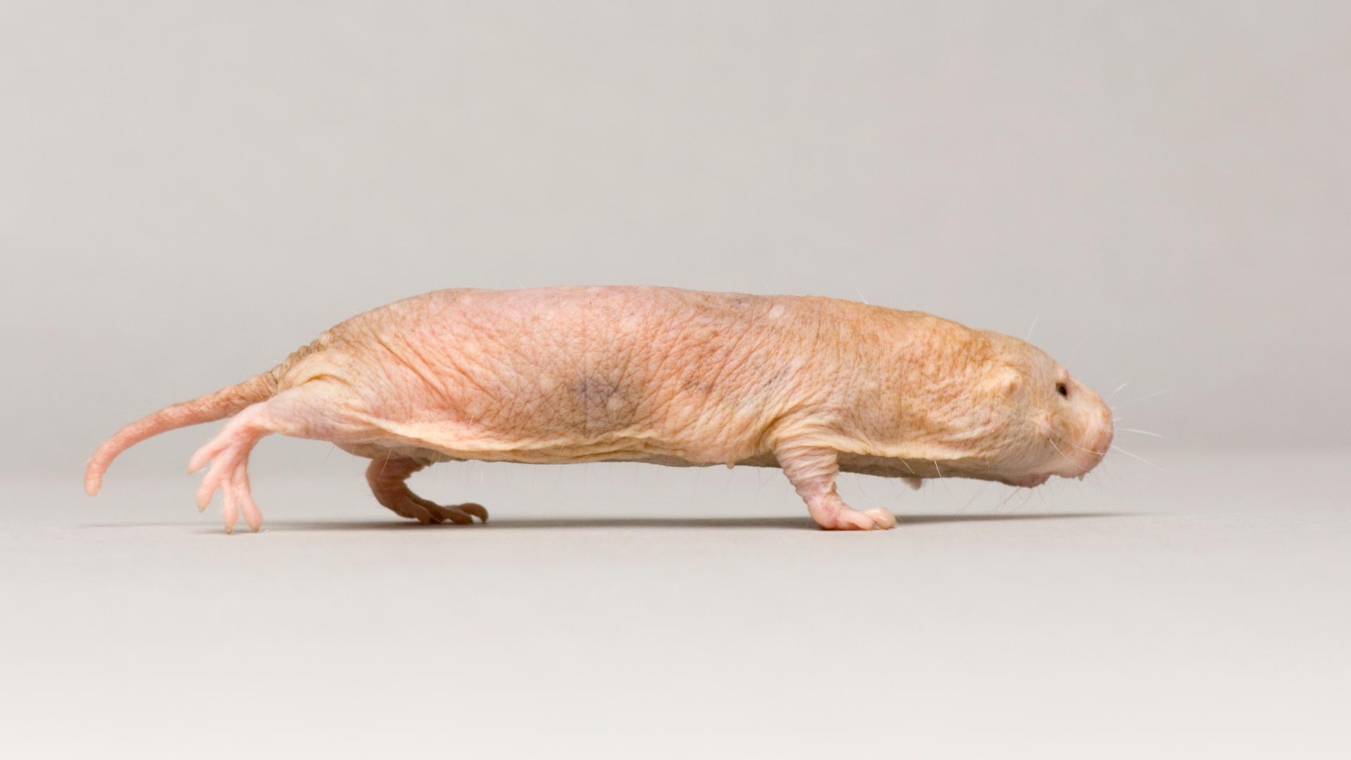 Creature Clip: Naked Mole Rat