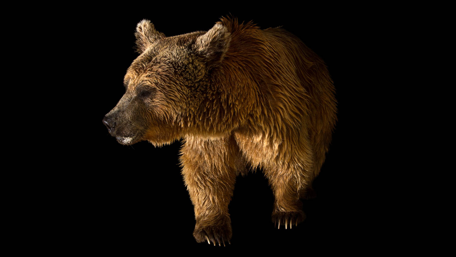 Creature Clip: Syrian Brown Bear