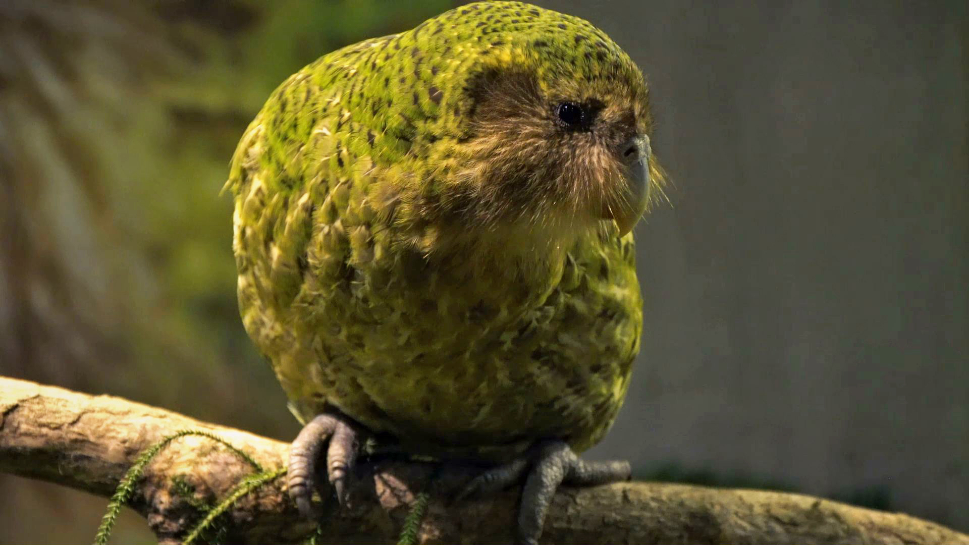 Creature Clip: Kākāpō - 2:36 - Meet Sirocco, a rare kākāpō and the only one with its own Twitter account!