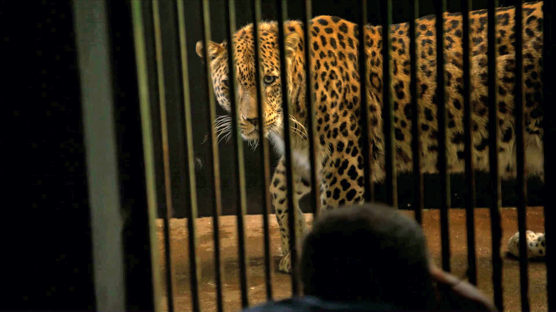 Creature Clip: Persian Leopard - 1:52 - This rare Persian leopard was the 5,000th animal to board Joel Sartore's Photo Ark.