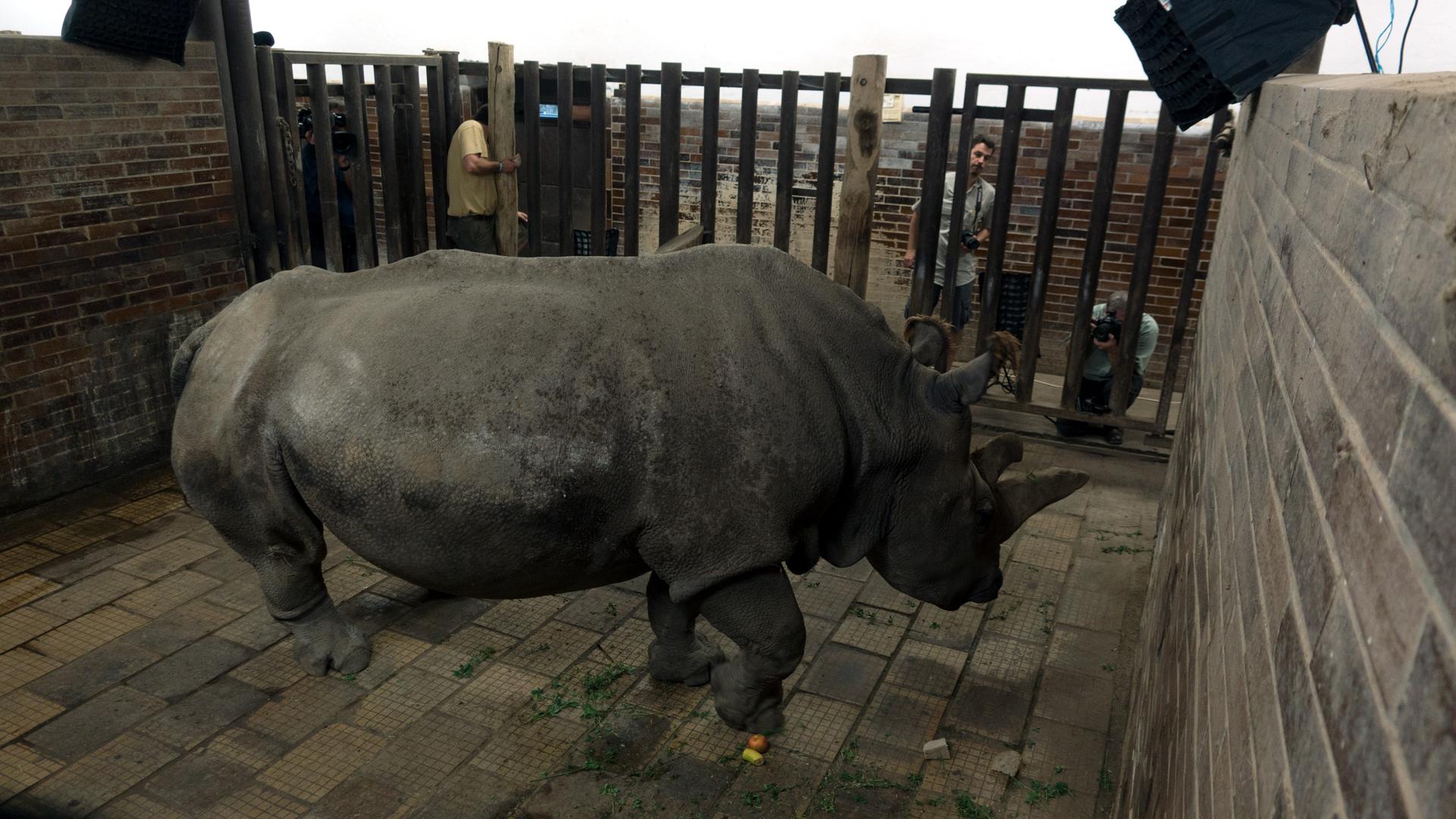 Creature Clip: Northern White Rhino - 3:58 - Meet Nabire, a rare northern white rhino.