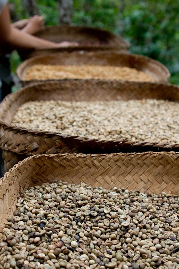 Civet Coffee (Kopi Luwak) | Fresh Tastes Blog | PBS Food