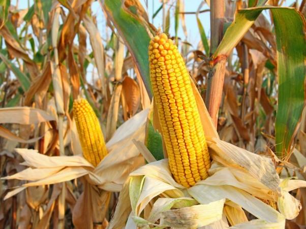 Popcorn-Maize