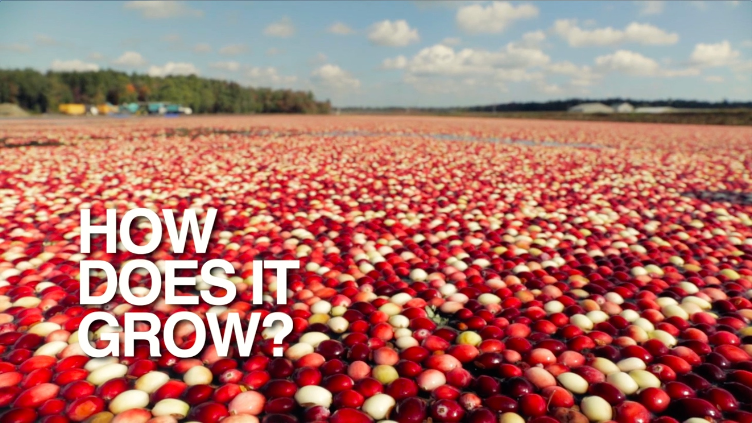 How Does It Grow: Cranberries