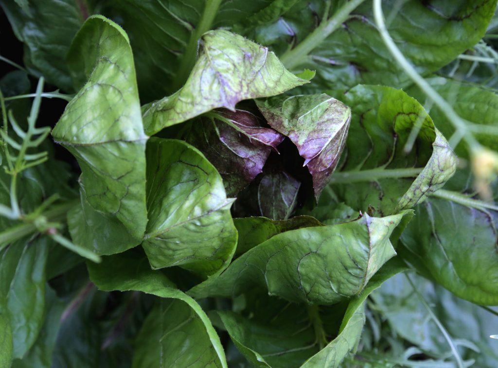 Chicory Pesto