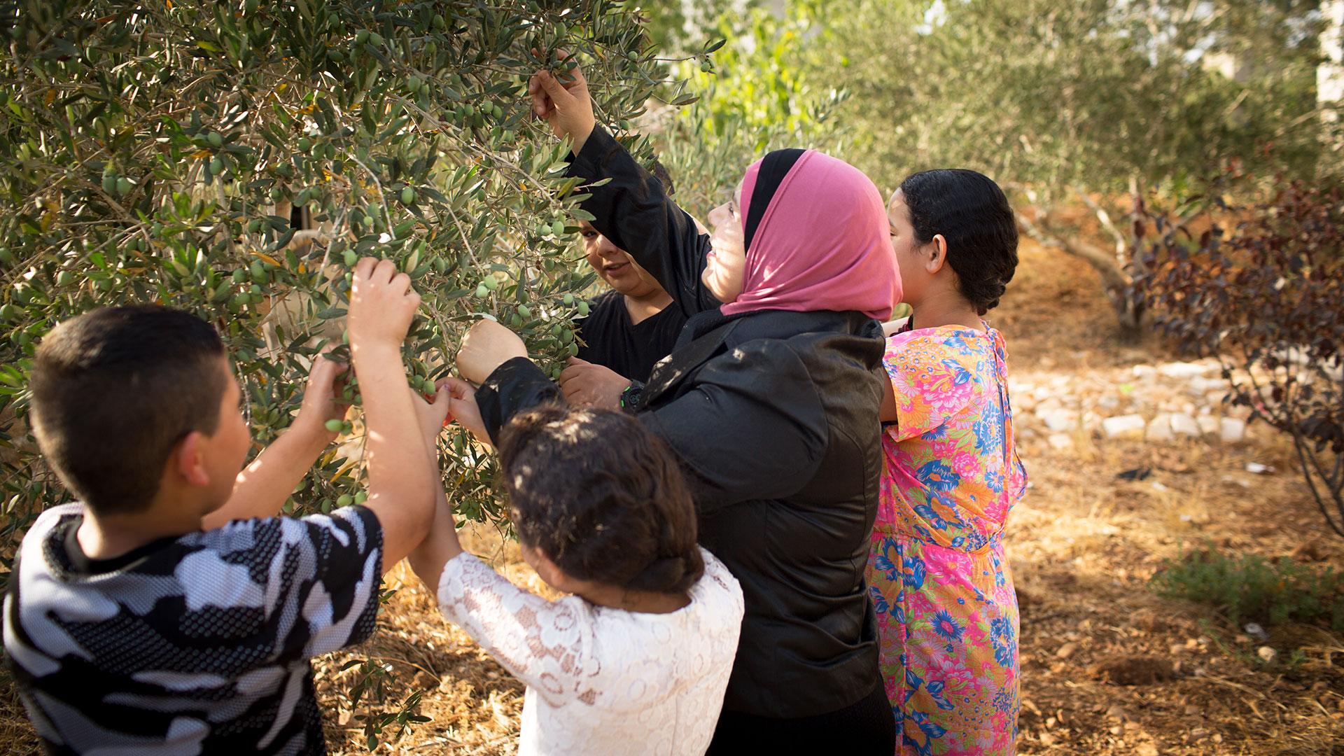 Judge Kholoud picking olives with her children.