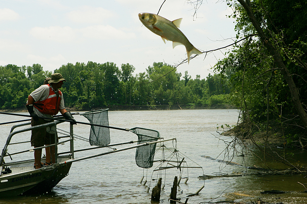 At the Big Muddy National Fish & Wildlife Refuge in Missouri, an Asian carp jumps high out of the water to escape biologists' nets. Photo by Steve Hillebrand/USFWS