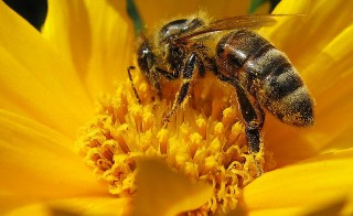 Colonies of bees have been disappearing since 2006. Photo by Flickr user Andreas