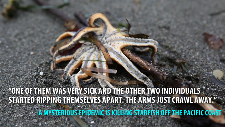 Thousands of starfish are dying off the Pacific Coast.