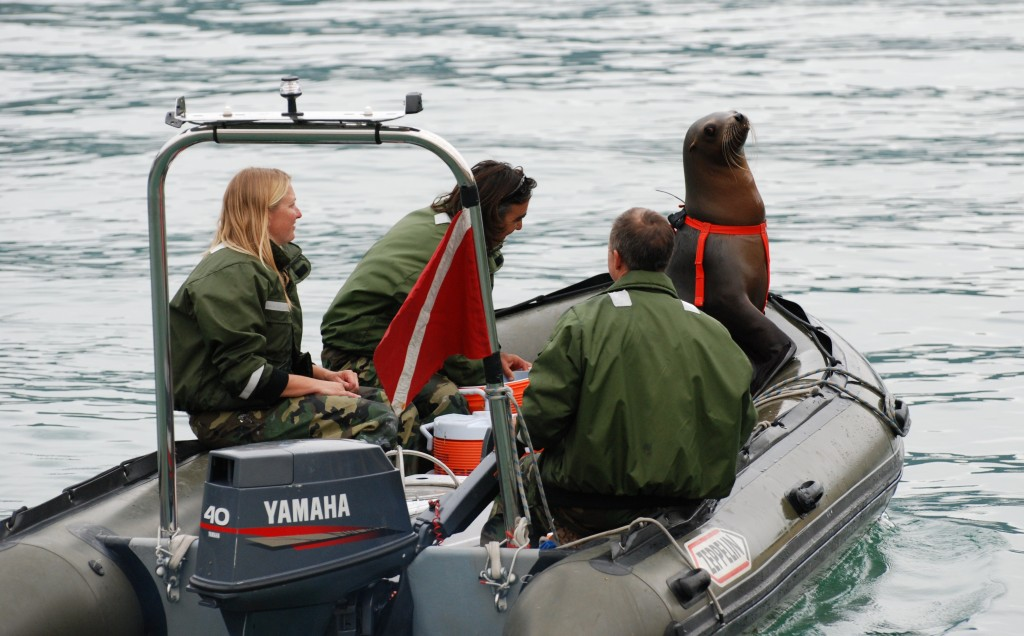 United States Navy marine mammal experts train a sea lion. Gliding through the water to locate mines, handcuff terrorists and take part in surveillance these amazing animals are the real Navy Seals. Photo by U.S. Navy