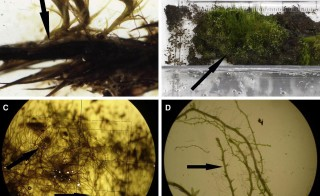 Photos show regrowth of moss that had been frozen for about 1,600 years. Photos by Current Biology