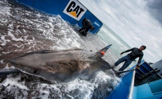 According to OCEARCH researchers, a great white shark called Lydia will be the first of its species to cross the Atlantic Ocean. Photo by OCEARCH