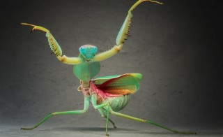 A Giant Malaysian Shield Praying Mantis. Photo by Igor Siwanowicz/Barcroft Media/Getty Images